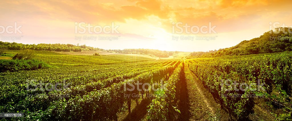 landscape of vineyard stock photo