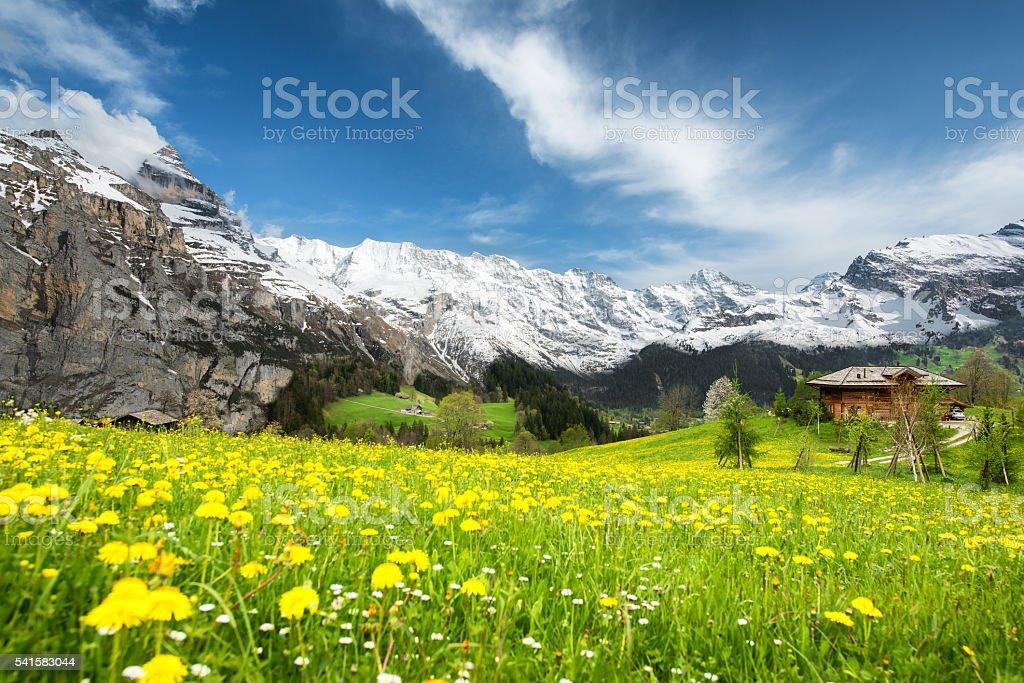 Landscape of yellow flower fields in Switzerland. stock photo