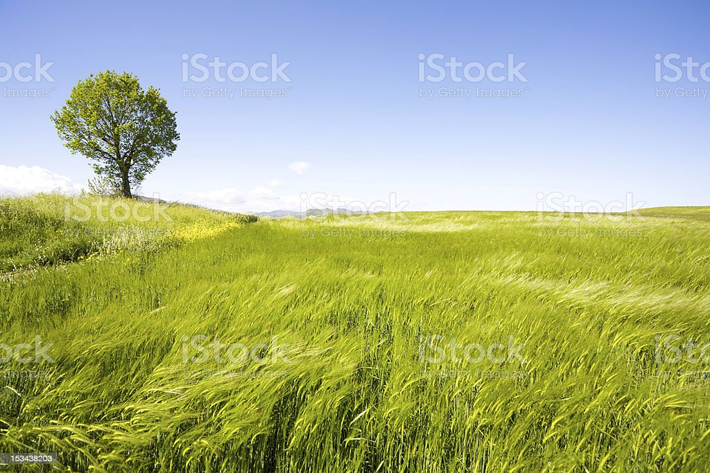 Landscape photograph of a lonely tree in a green field royalty-free stock photo
