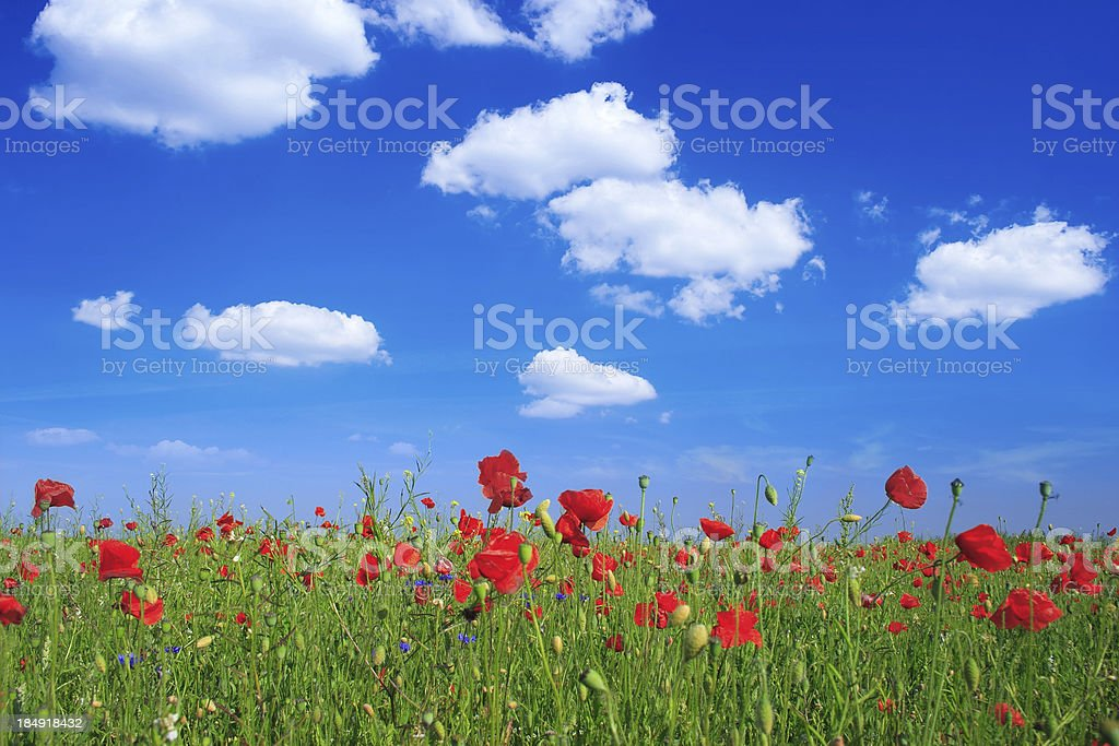 Landscape - poppy's field, blue sky and green grass royalty-free stock photo