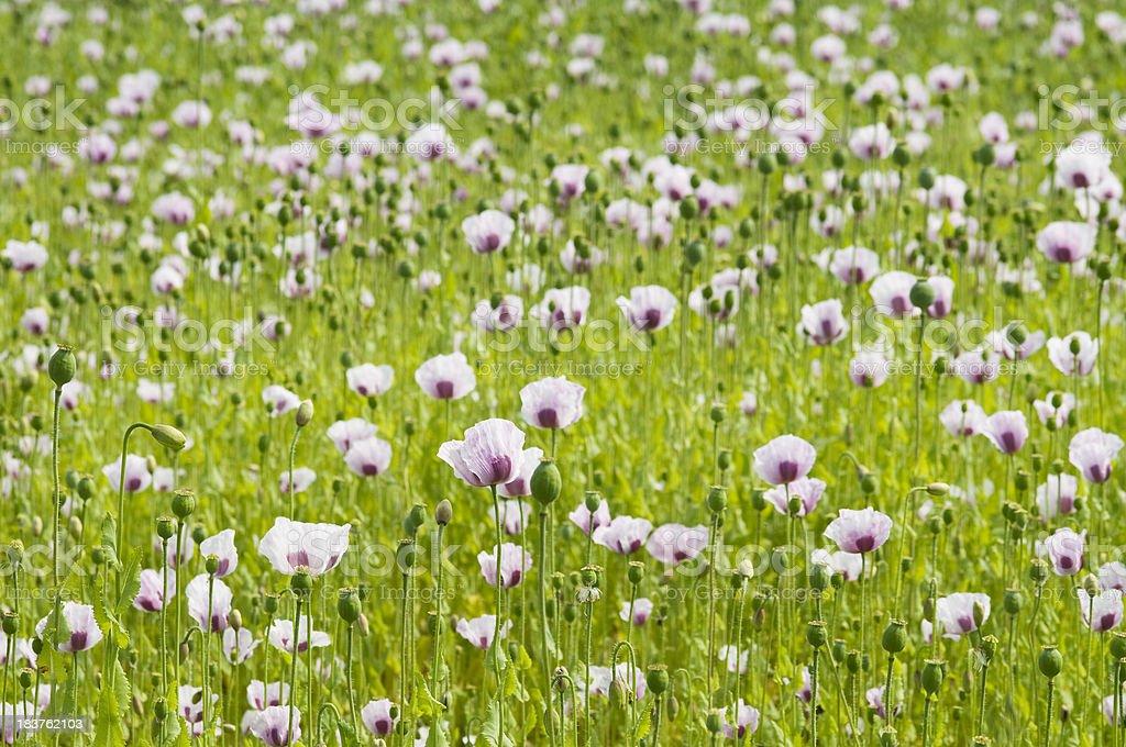Landscape - poppy's field royalty-free stock photo