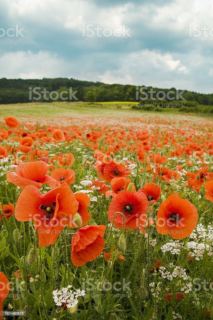 Landscape - poppy's field with blue sky royalty-free stock photo