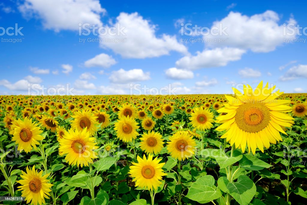 Landscape - Sunflowers royalty-free stock photo
