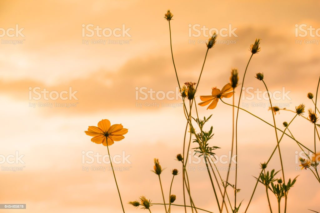 Landscape sunset view at the river with cosmos flower stock photo