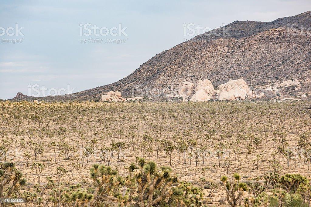 Landscape view of joshua trees stock photo