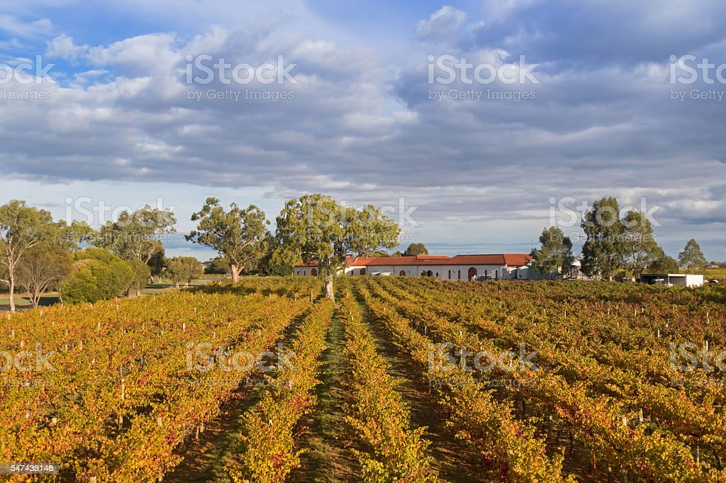 Landscape view of vineyard growing on limestone coast in Coonawara stock photo