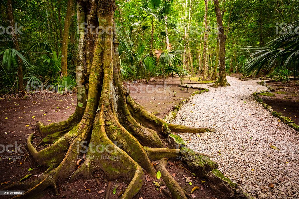 Landscape view old jungle tree roots and pathway stock photo