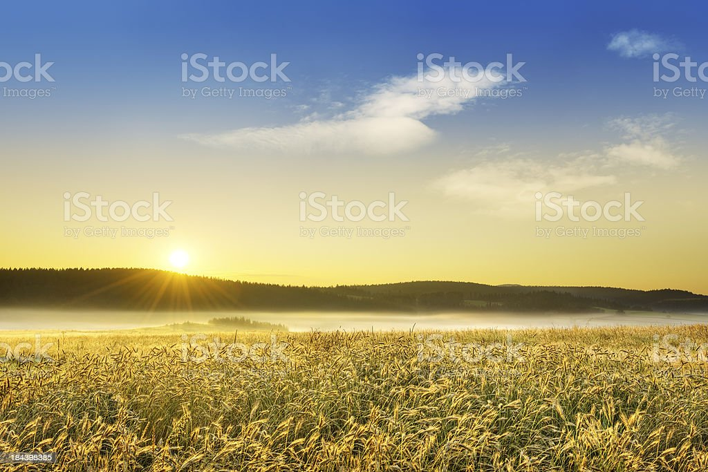 Landscape - Wheat field at foggy dawn royalty-free stock photo