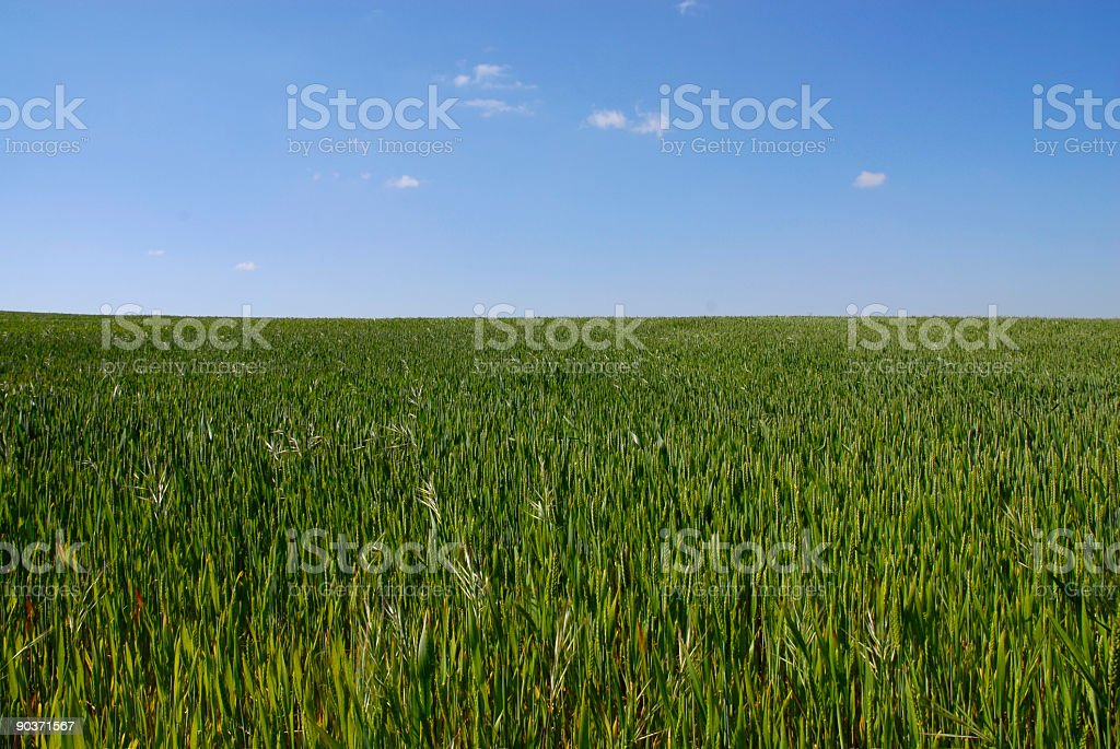 Landscape wheat field with bright sky royalty-free stock photo