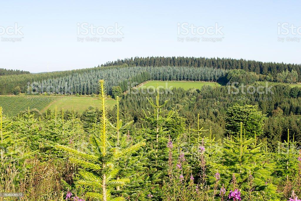 Landscape with a pine plantation. stock photo