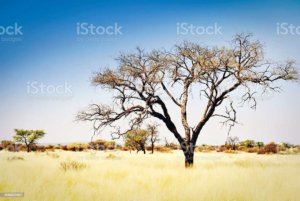 Landscape with acacia trees and dry grasses, Namibia,Africa stock photo