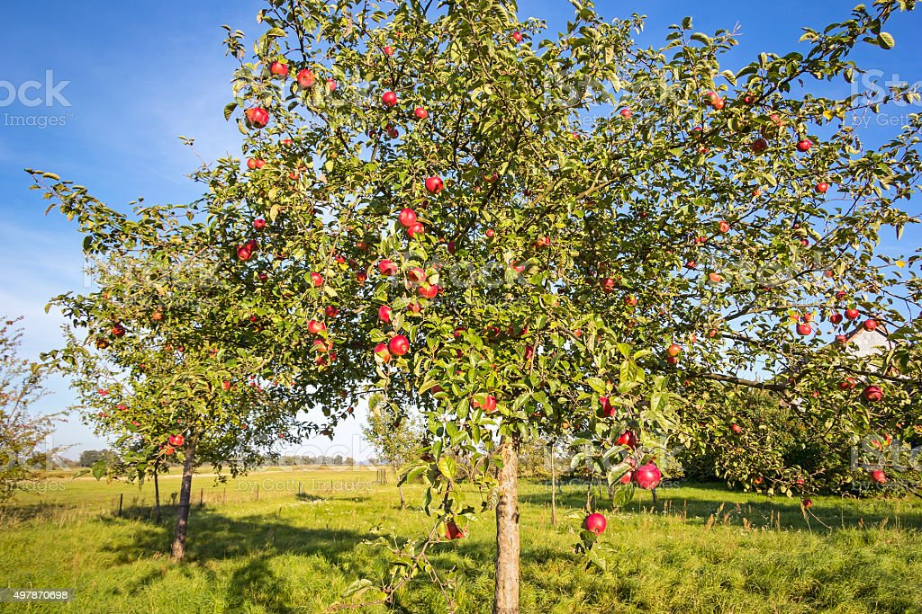 Landscape with Apple Tree in Autumn. stock photo