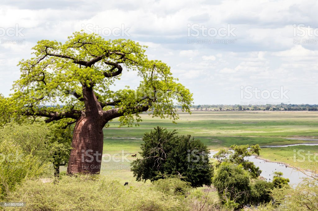 Landscape with Baobab tree in Africa stock photo