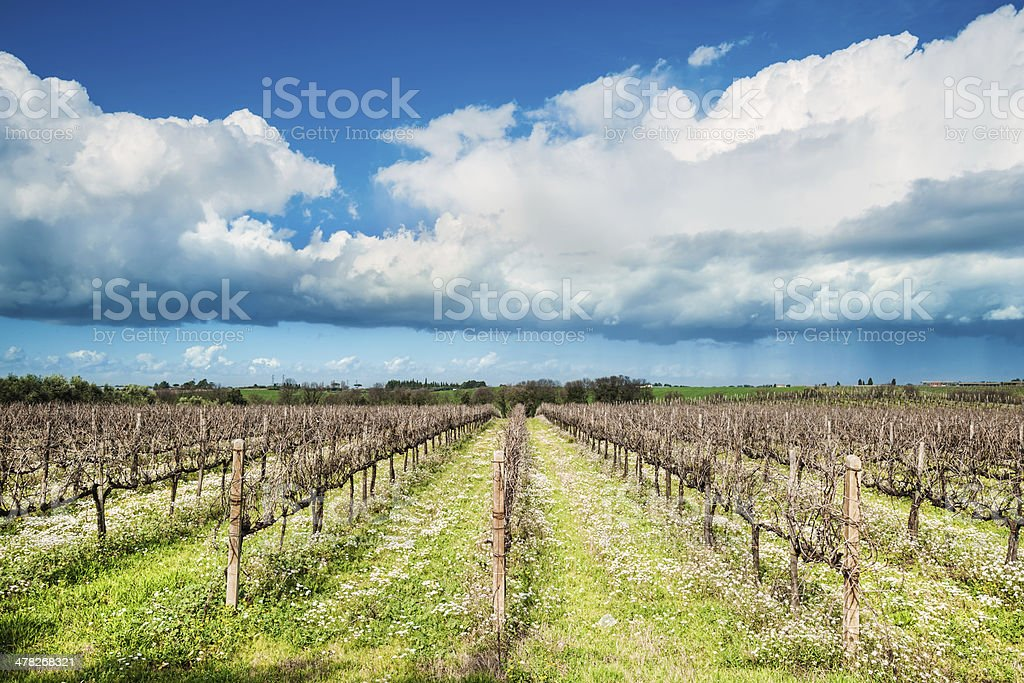 Landscape with biological vineyard royalty-free stock photo