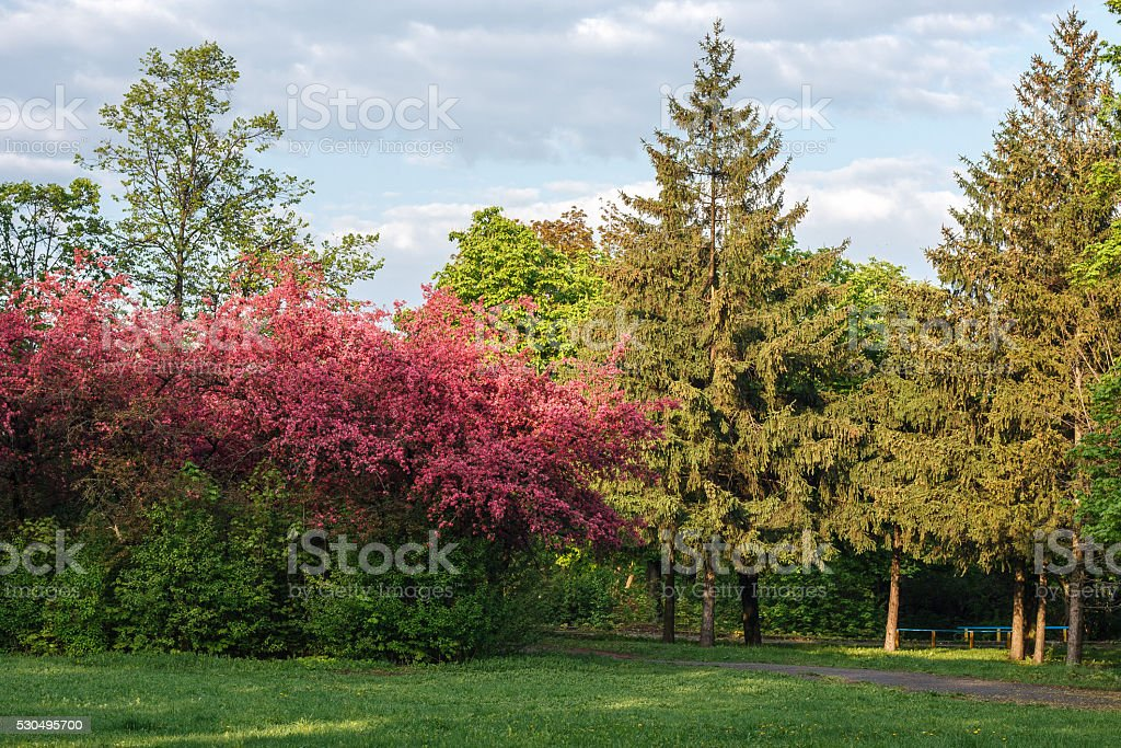 Landscape with blooming apple trees and spruce stock photo