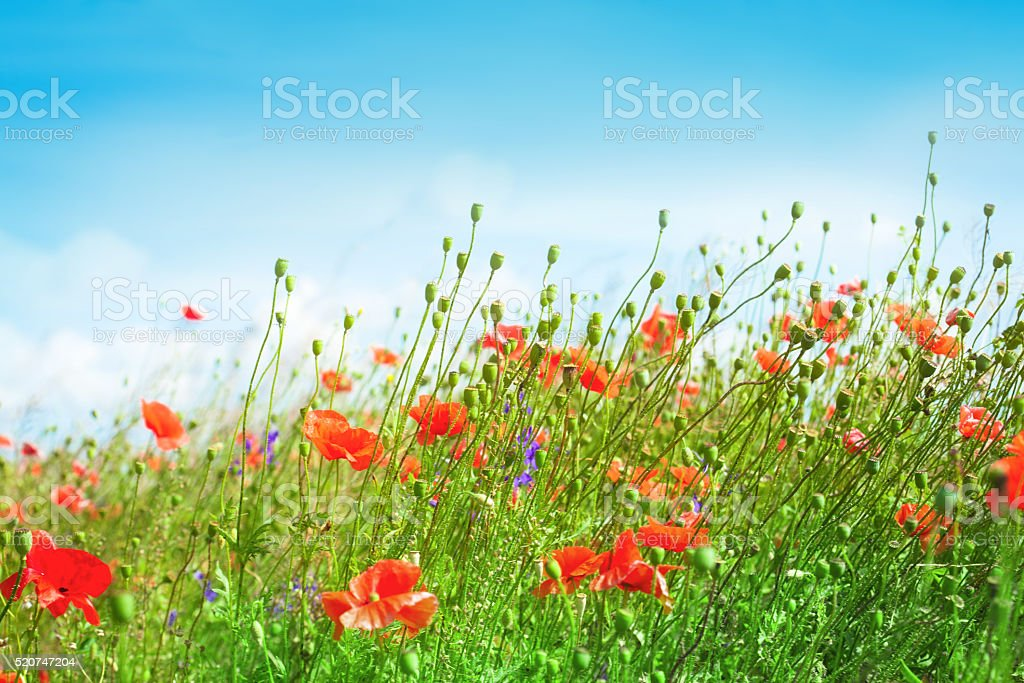 Landscape with blue sky and red poppies stock photo