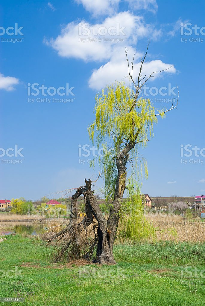 Landscape with broken willow tree stock photo