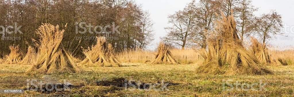 Landscape with bundles of reed In wetland stock photo