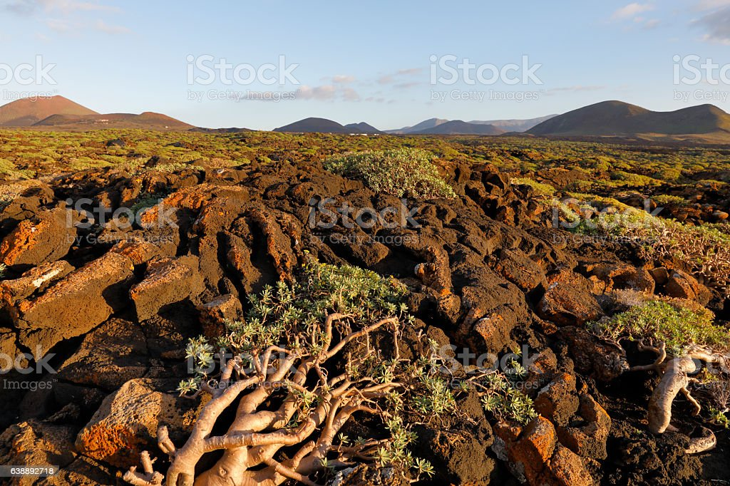 Landscape with cactus, Lanzarote, Spain stock photo