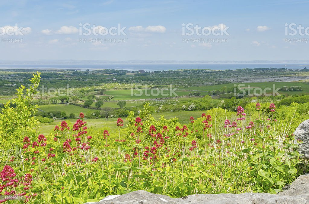 Landscape with Centranthus ruber in Ireland royalty-free stock photo