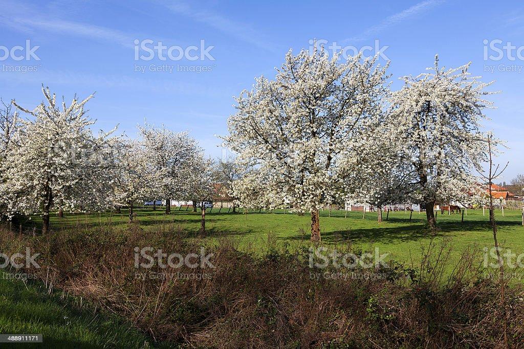 Landscape with cherry trees in blossom, Haspengouw, Belgium stock photo