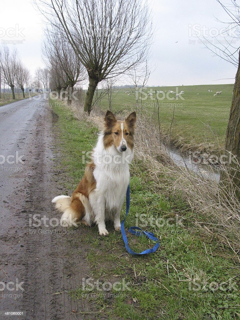 Landscape with Collie stock photo