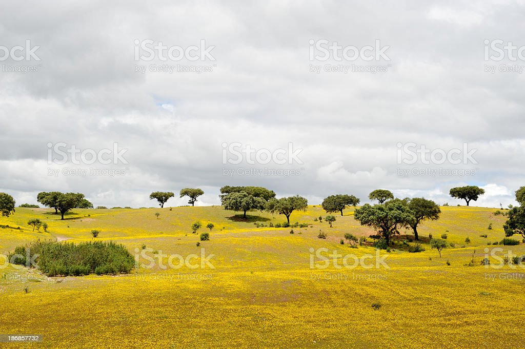 Landscape with cork trees and wildflowers stock photo