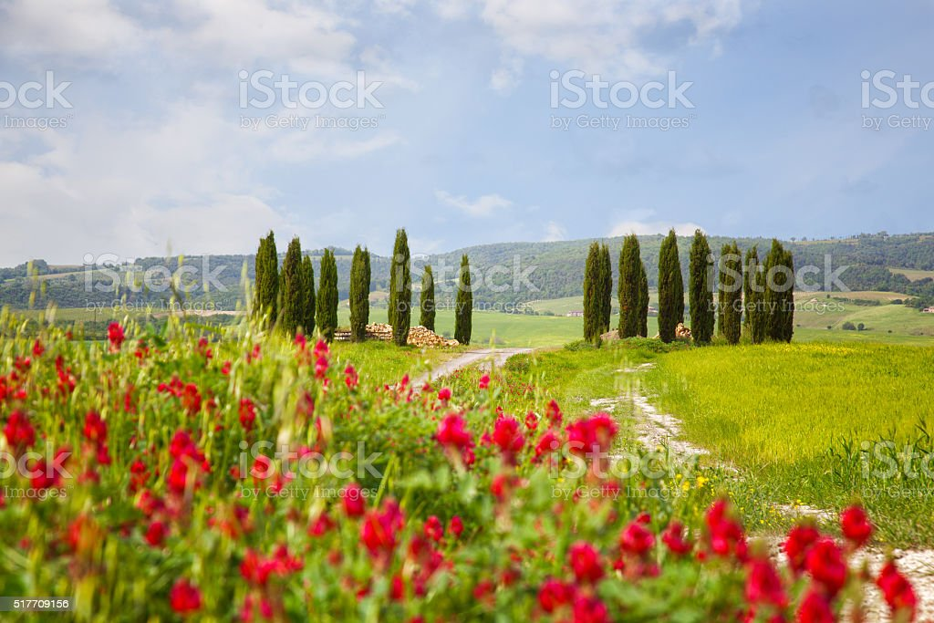 Landscape with cypresses and bright red flowers in the foreground stock photo