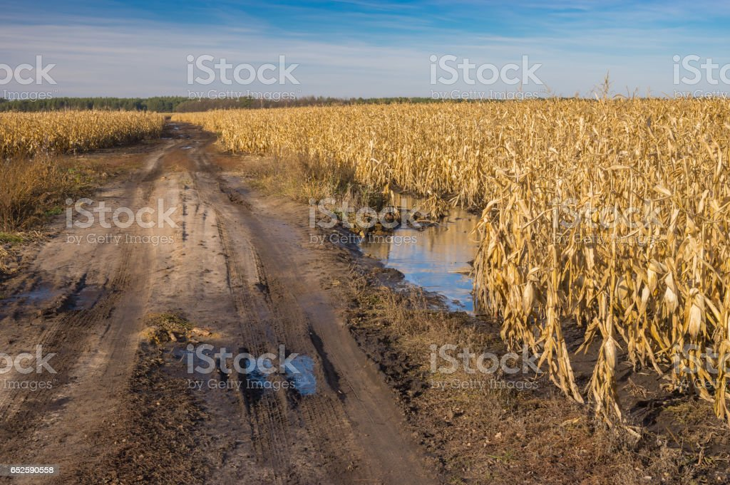 Landscape with dirty country road between agricultural fields with maize in central Ukraine at late autumnal day stock photo