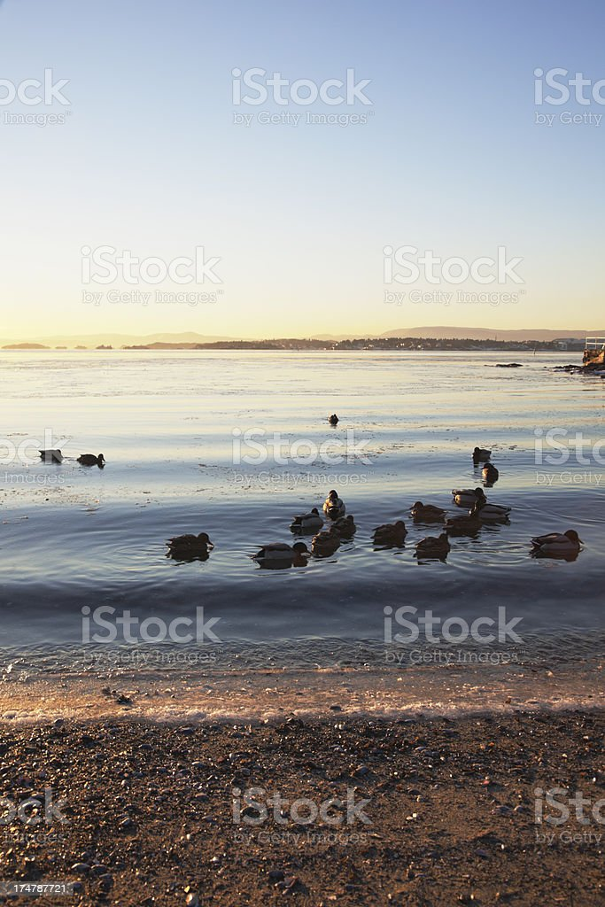 Landscape with ducks at sunset in January. royalty-free stock photo