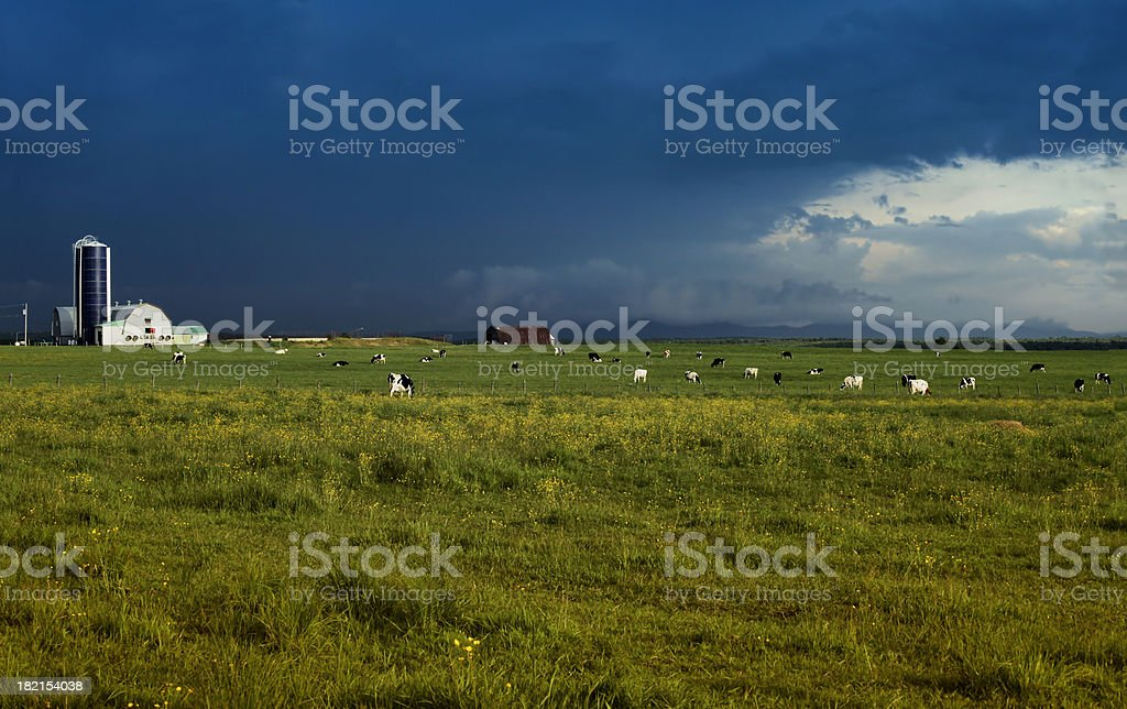 Landscape with grazing cows under stormy sky royalty-free stock photo