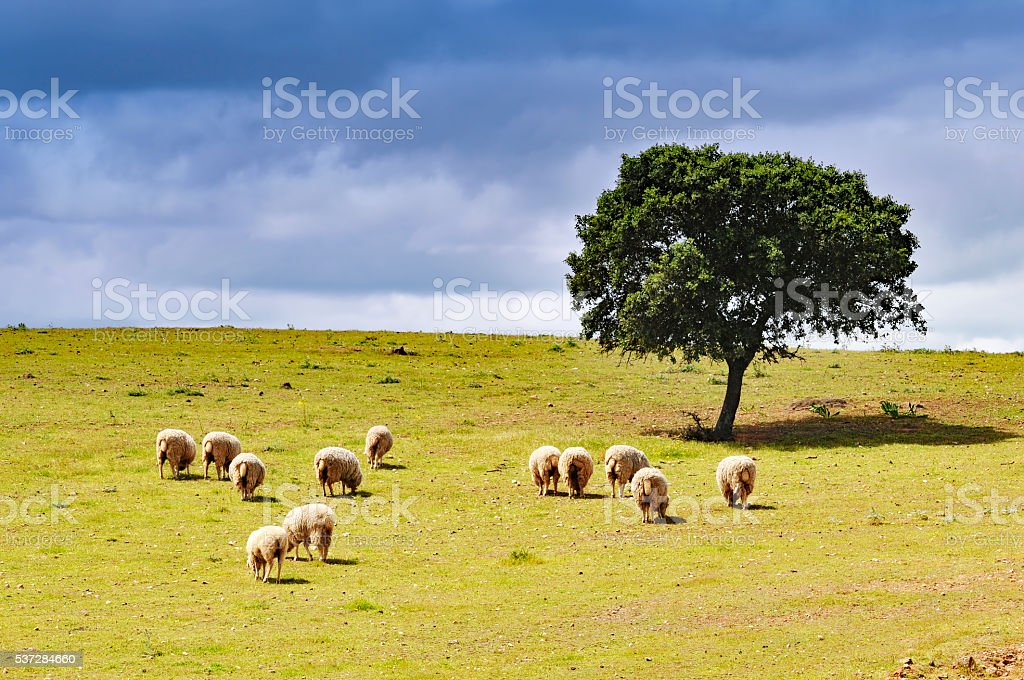Landscape with grazing sheep and cork tree, Alentejo, Portugal stock photo