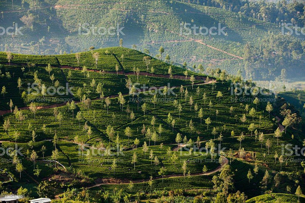 Landscape with green fields of tea in Sri Lanka stock photo
