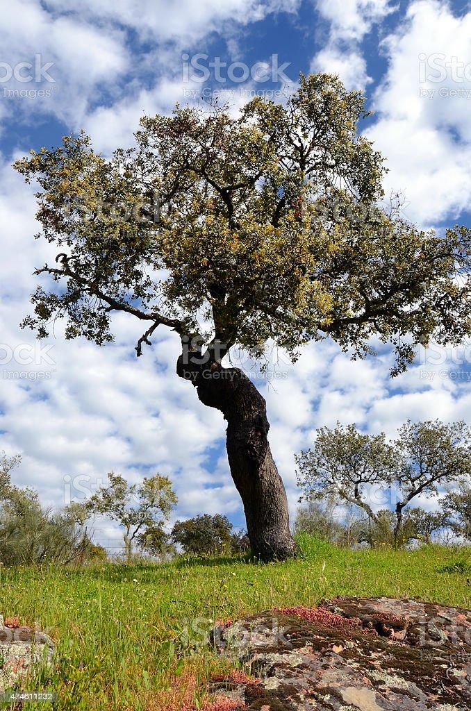 landscape with holm oak tree stock photo