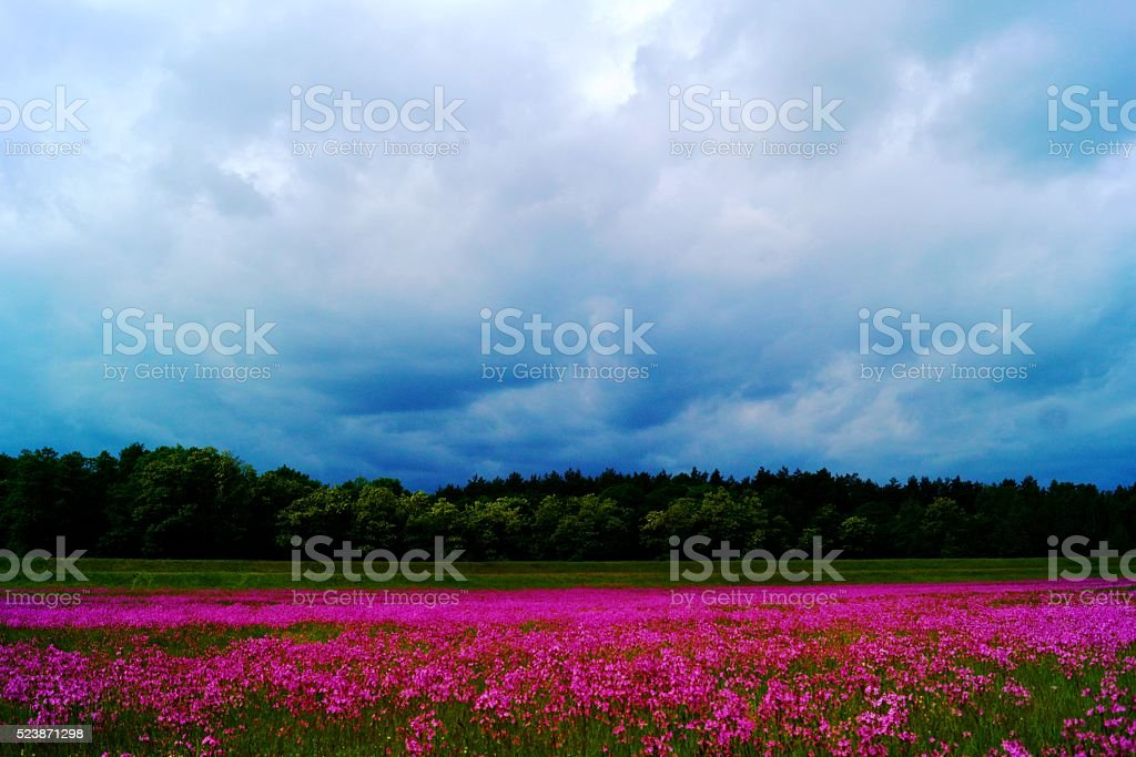 Landscape with Lychnis stock photo