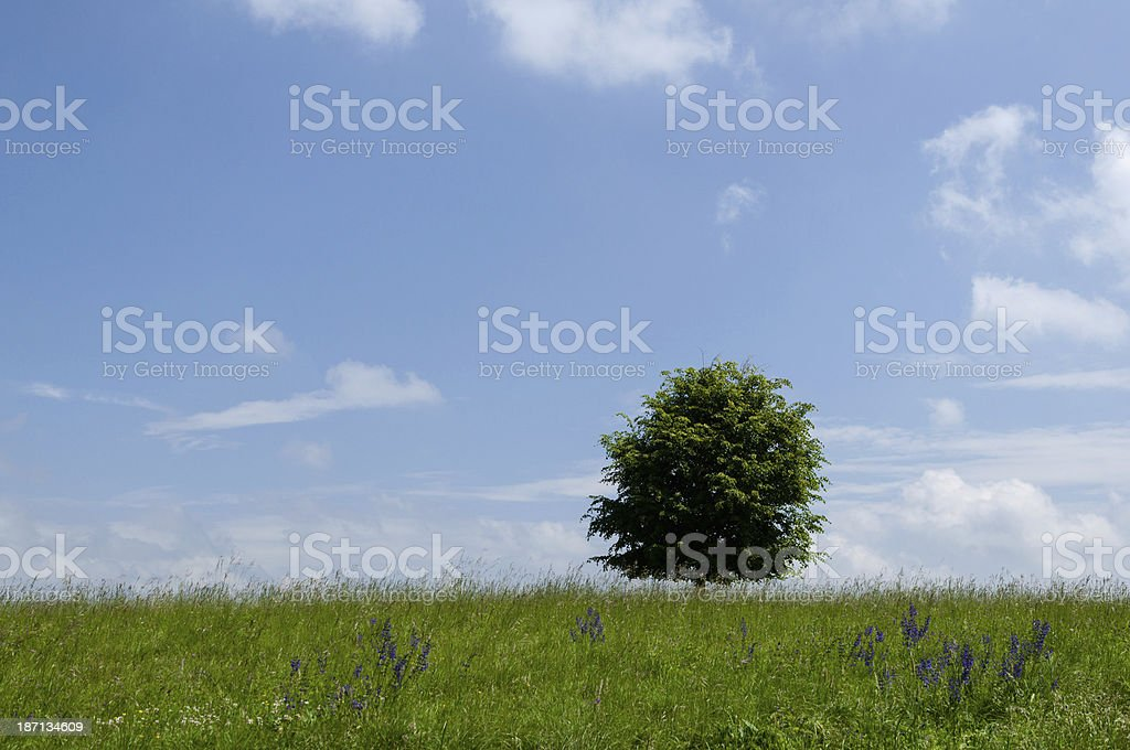Landscape with meadow, flowers and a lime tree (Tilia) stock photo