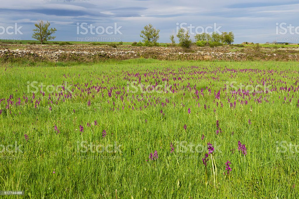 Landscape with Meadows and Orchids -  Praderas con Orquideas stock photo