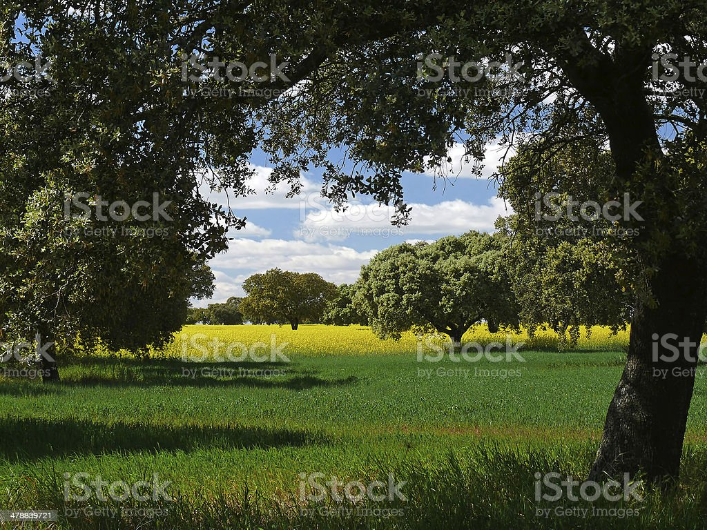 landscape with oaks, meadow and rapeseed stock photo