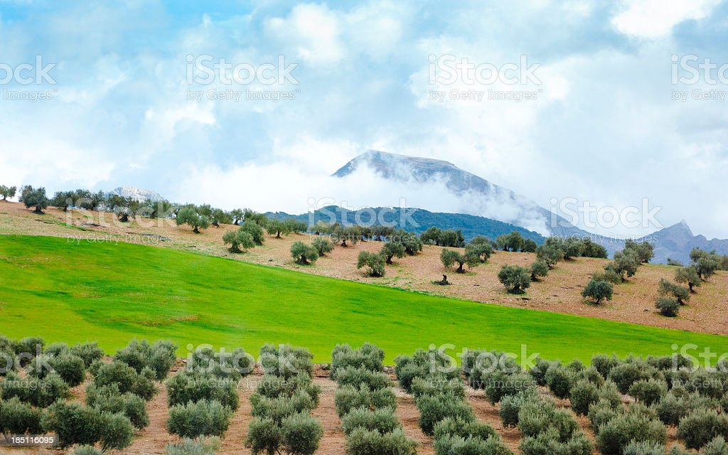 Landscape with olive trees stock photo
