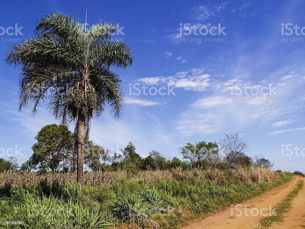 Landscape with palm tree. Flora in Paraguay, South America stock photo