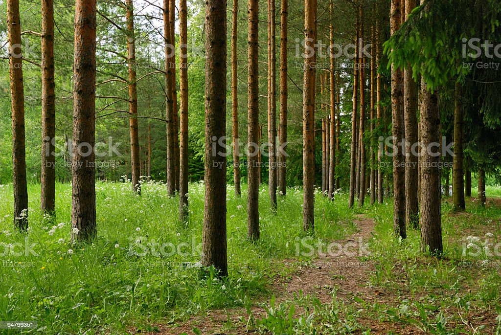 Landscape with pines stock photo