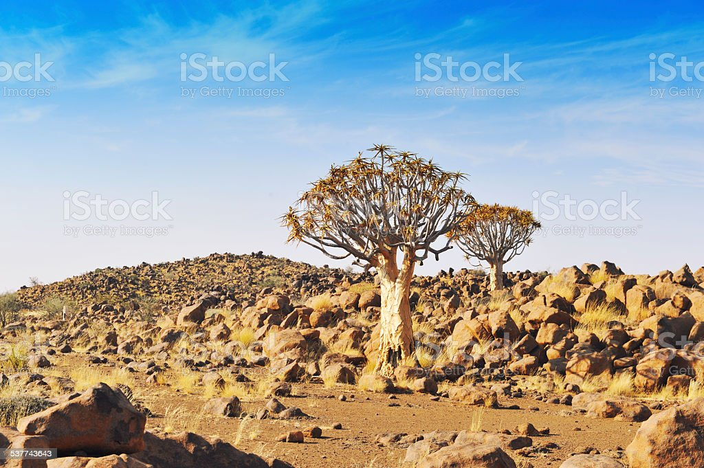 Landscape with quiver trees in Namibia stock photo