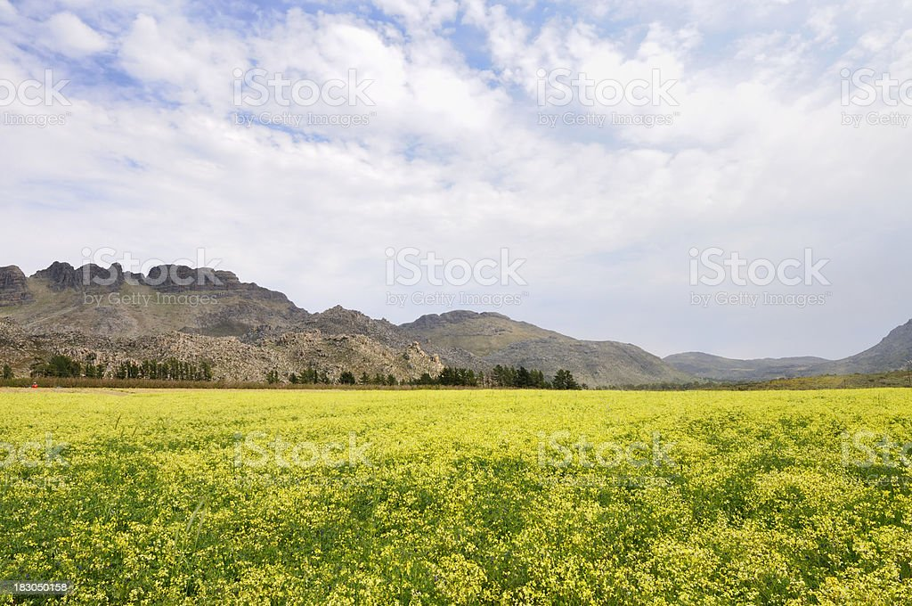 Landscape with rape seed stock photo
