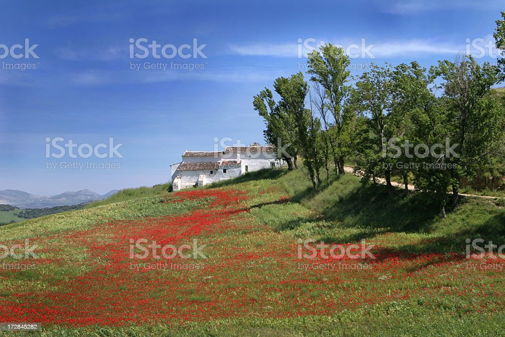 Landscape with red corn poppies stock photo