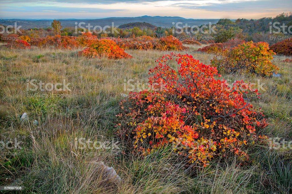 Landscape with red Karsian Smoketree stock photo