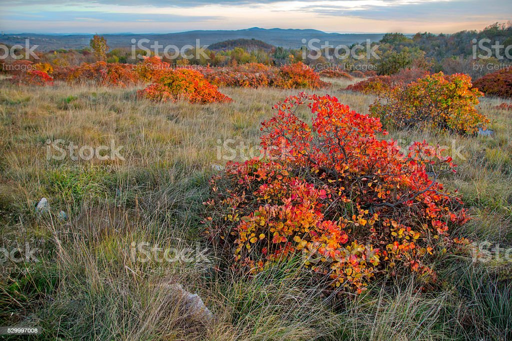 Landscape with red Karsian Smoketree stock photo