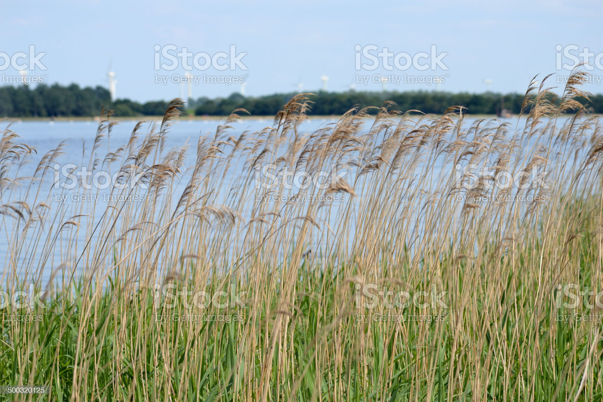 Landscape with reed water and windmills royalty-free stock photo