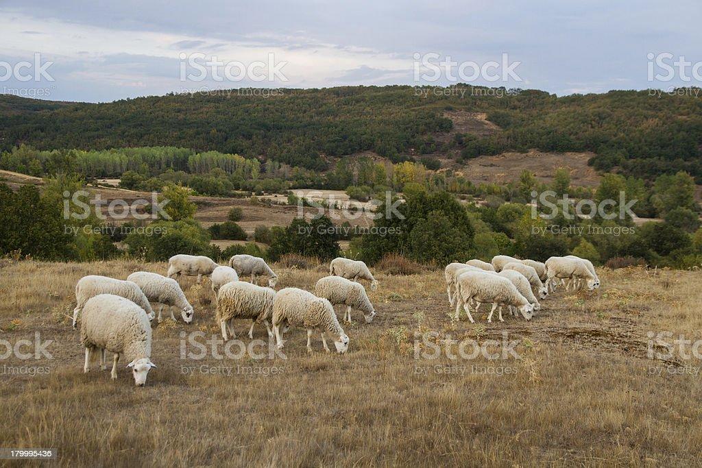Landscape with Sheep - Paisaje con Ovejas stock photo