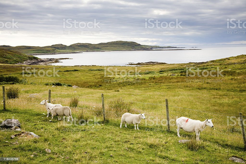 Landscape with sheep, Scotland stock photo