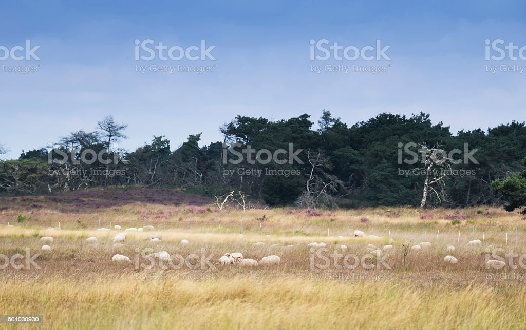 Landscape with  sheep,grasses , trees in  the Kalmthoutse Heide,Belgium stock photo
